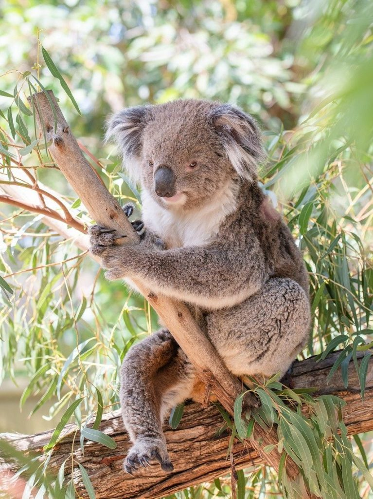koala, marsupial, herbivore-4757068.jpg